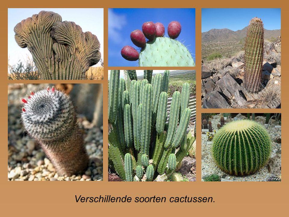 Verschillende soorten cactussen.