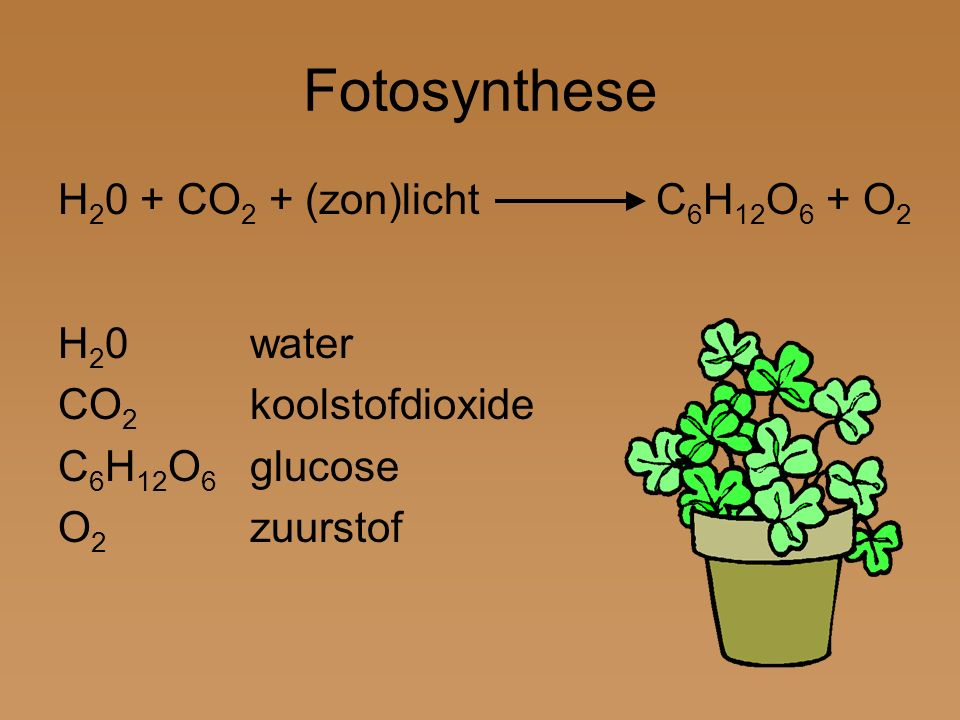 Fotosynthese H 2 0 + CO 2 + (zon)licht C 6 H 12 O 6 + O 2 H 2 0water CO 2 koolstofdioxide C 6 H 12 O 6 glucose O 2 zuurstof