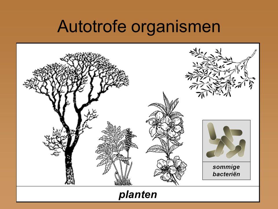 Autotrofe organismen planten sommige bacteriën