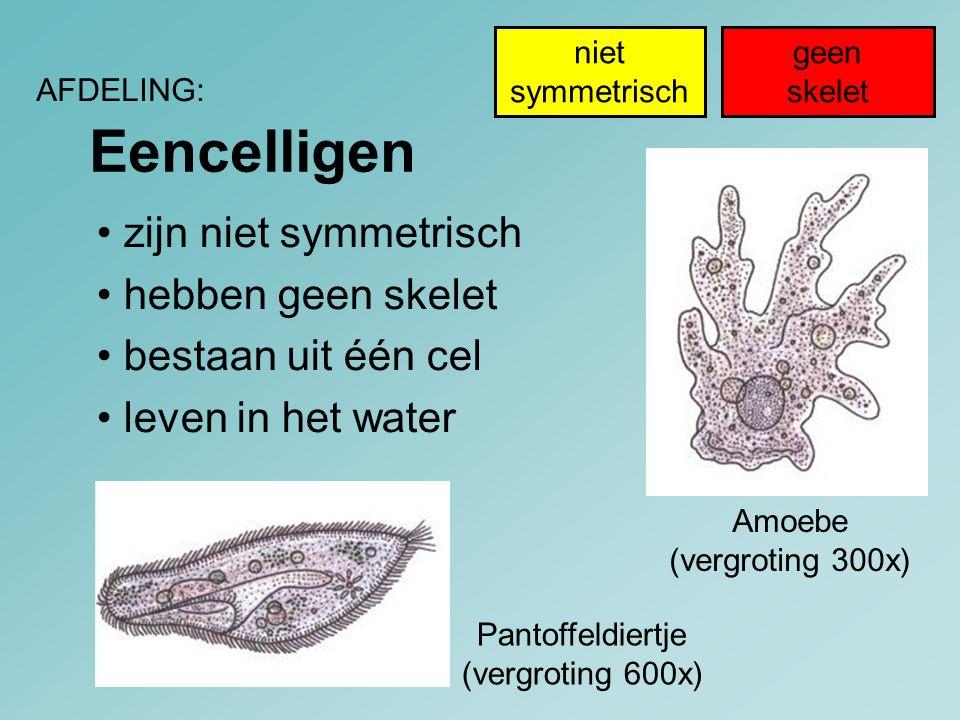 Eencelligen AFDELING: Amoebe (vergroting 300x) Pantoffeldiertje (vergroting 600x) geen skelet niet symmetrisch zijn niet symmetrisch hebben geen skele