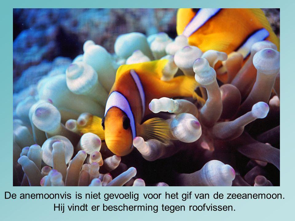 De anemoonvis is niet gevoelig voor het gif van de zeeanemoon. Hij vindt er bescherming tegen roofvissen.