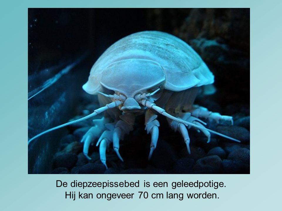 De diepzeepissebed is een geleedpotige. Hij kan ongeveer 70 cm lang worden.