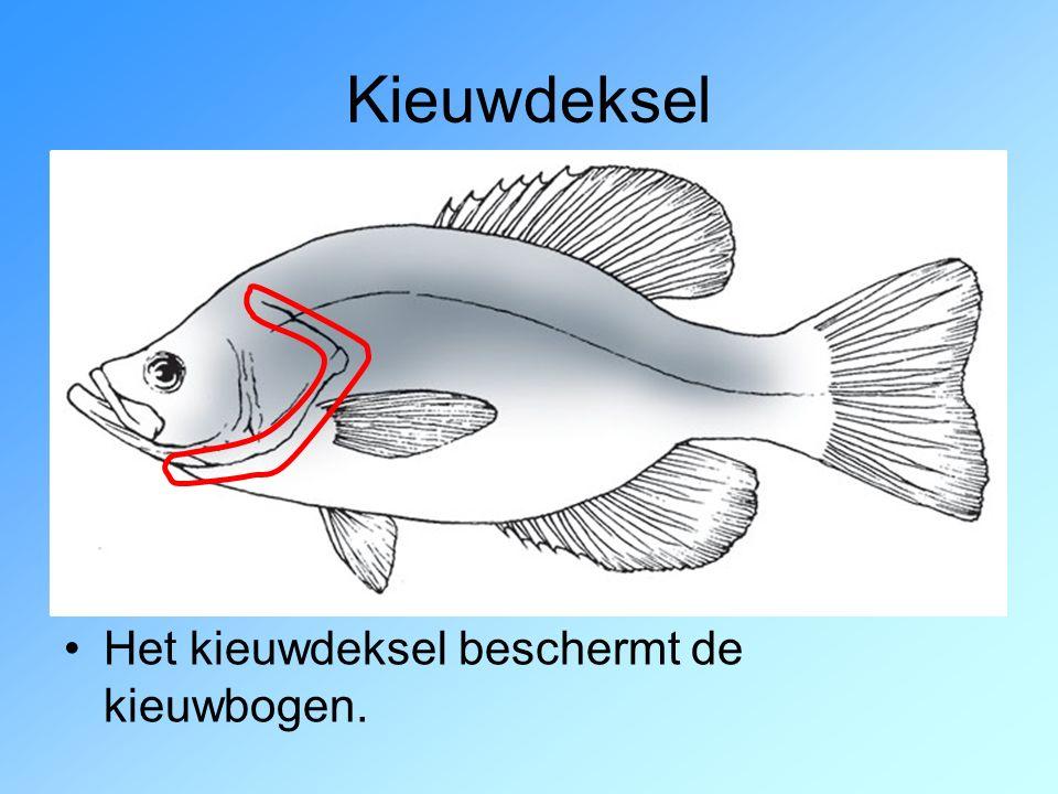 Waterstroom langs kieuwen Vissen pompen water vanuit de mondholte langs de kieuwen.