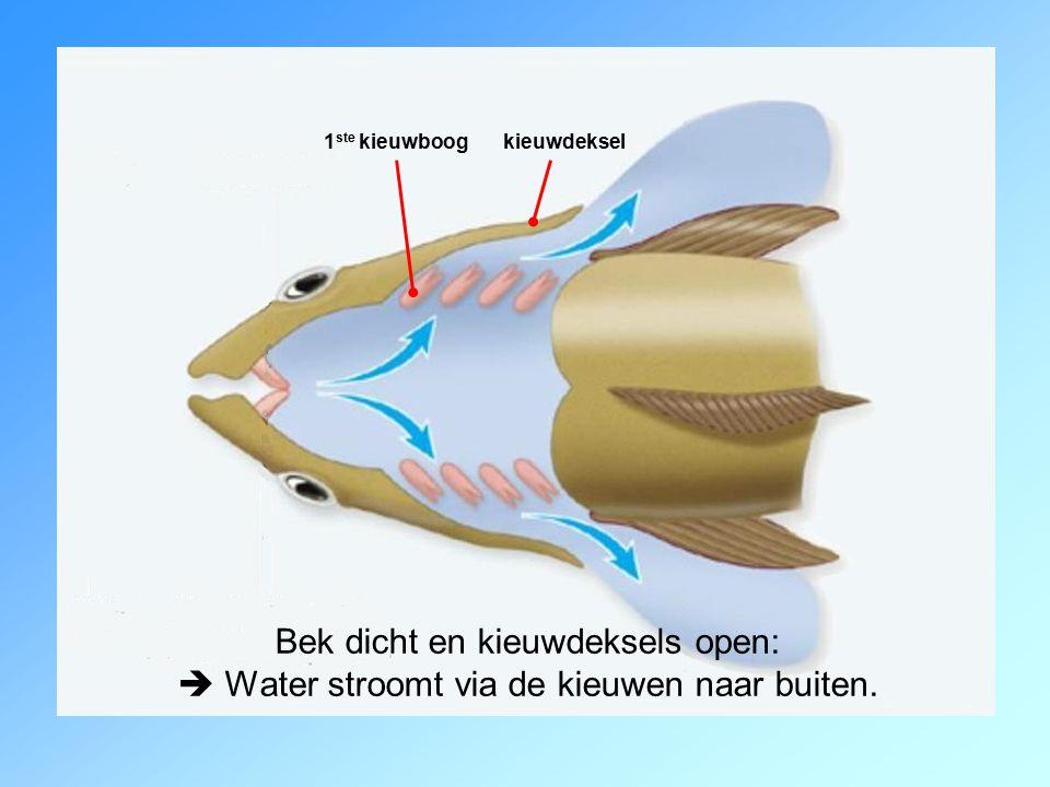 Bek dicht en kieuwdeksels open:  Water stroomt via de kieuwen naar buiten.
