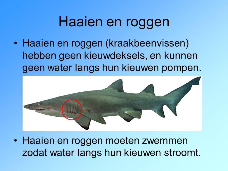 Haaien en roggen Haaien en roggen (kraakbeenvissen) hebben geen kieuwdeksels, en kunnen geen water langs hun kieuwen pompen.