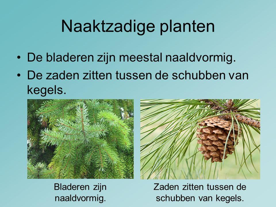 Naaktzadige planten De bladeren zijn meestal naaldvormig. De zaden zitten tussen de schubben van kegels. Zaden zitten tussen de schubben van kegels. B