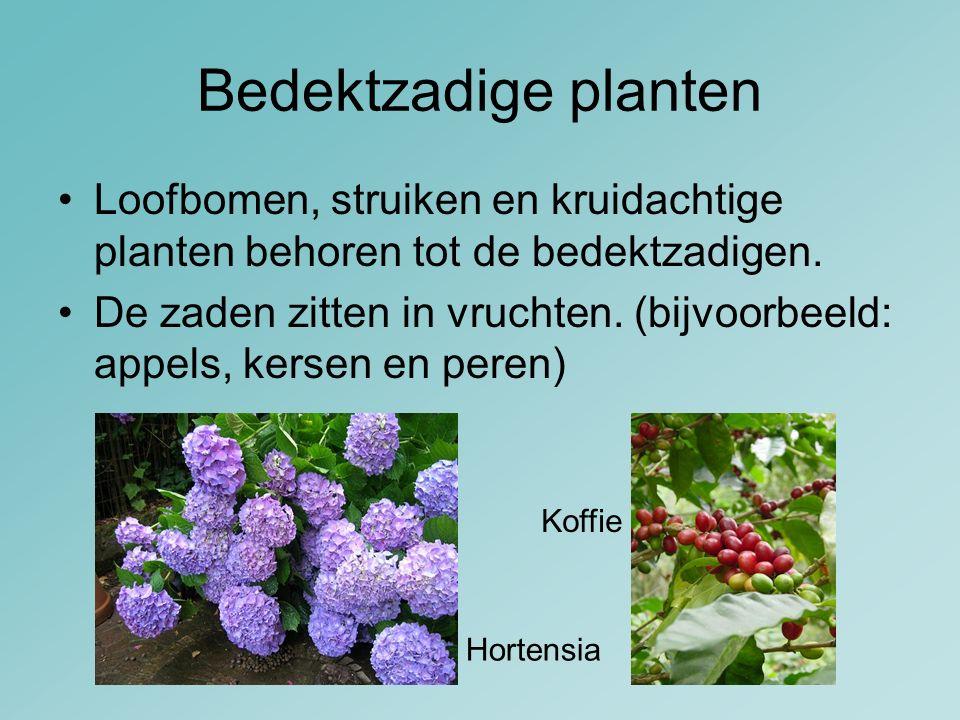Bedektzadige planten Loofbomen, struiken en kruidachtige planten behoren tot de bedektzadigen. De zaden zitten in vruchten.(bijvoorbeeld: appels, kers