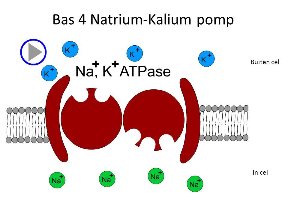 Bas 4 Natrium-Kalium pomp In cel Buiten cel