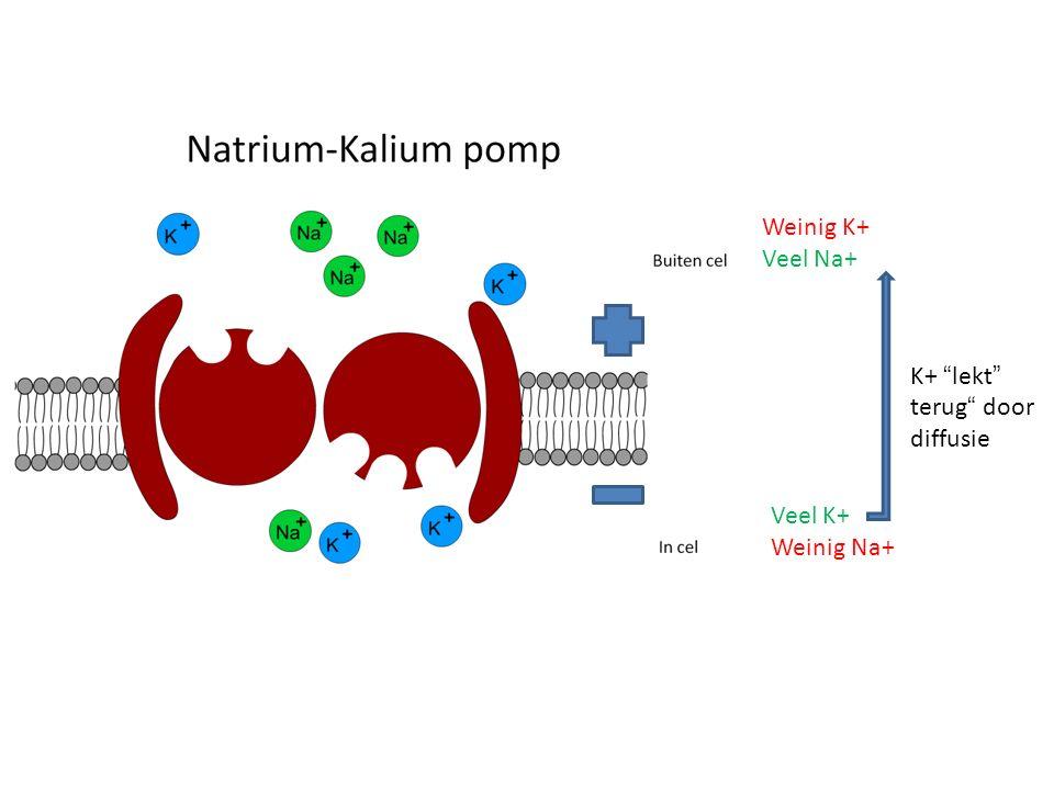 + - Overschrijden drempelwaarde Na+ of toedien prikkel Door depolarisatie  Ca2+- poort open  transmitterstof naar zenuwcel = hyperpolarisatie