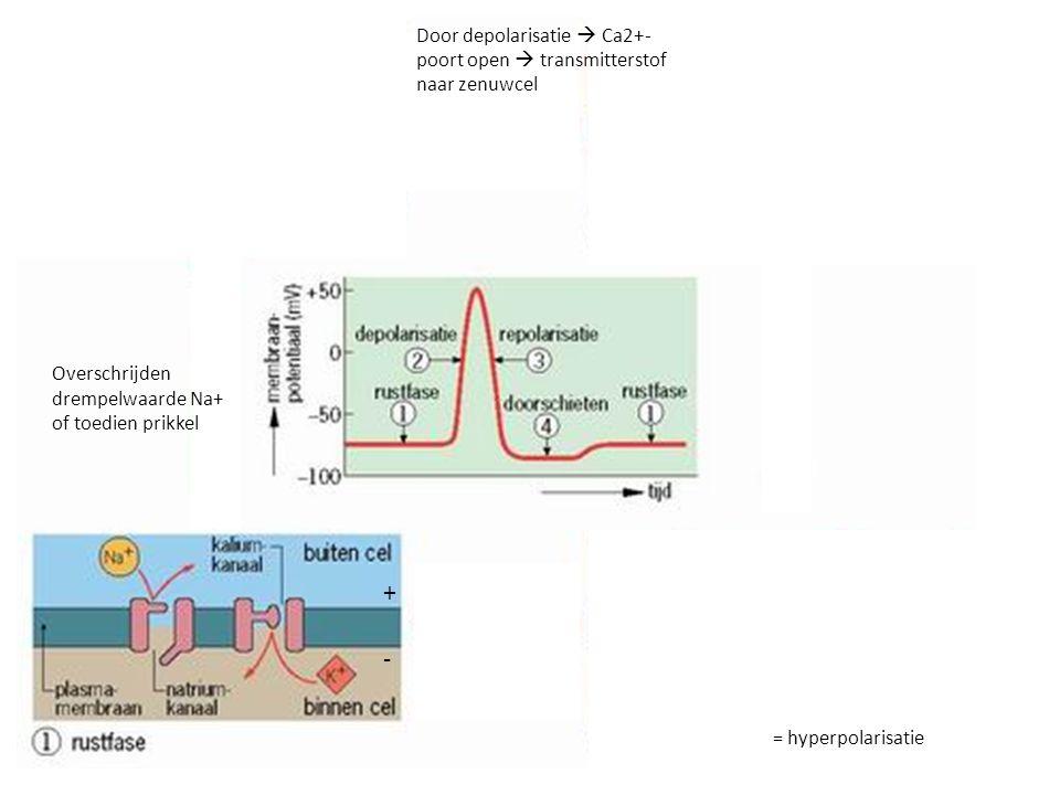 Synaps Membraanpotentiaal hersteld in axon Bij voldoende stimulatie receptoren  genoeg natriumpoorten open  impuls doorgegeven
