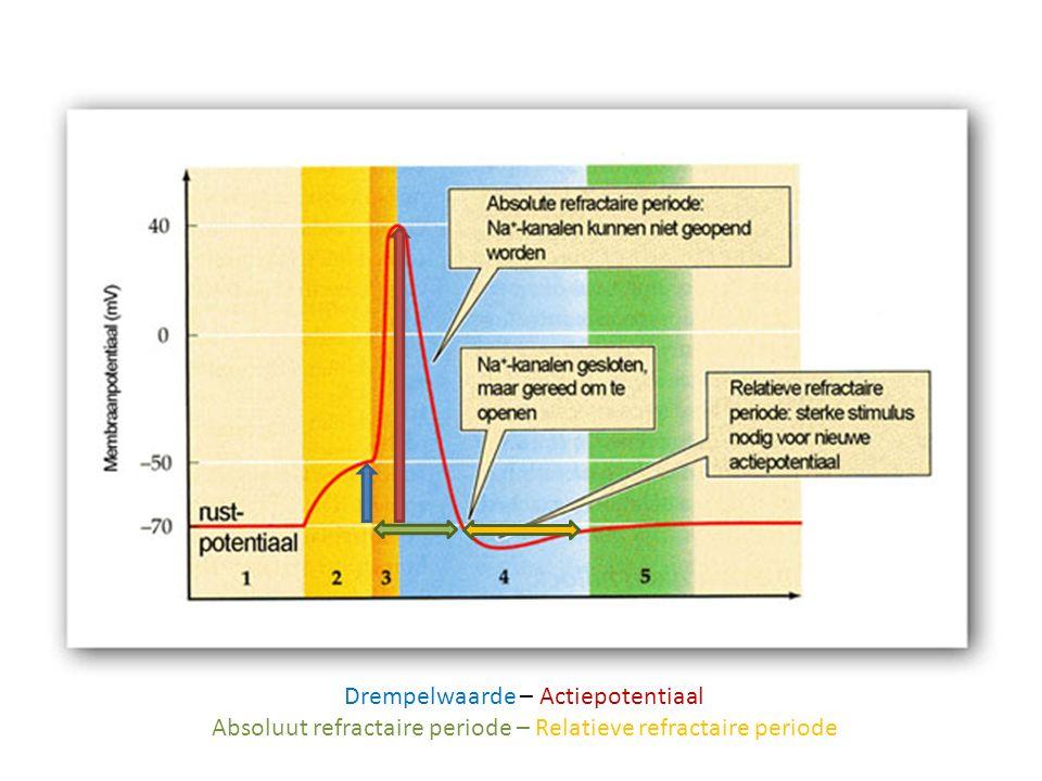 Impulsgeleiding Impuls = elektrisch stroompje Ontstaat als prikkel sterk genoeg is – boven de prikkeldrempel Impulssterkte is altijd gelijk Bij sterkere prikkel worden meer impulsen per tijdeenheid doorgegeven - de impulsfrequentie neemt toe Impulsfrequentie neemt af als bepaalde prikkel lang aanhoudt (gewenning)