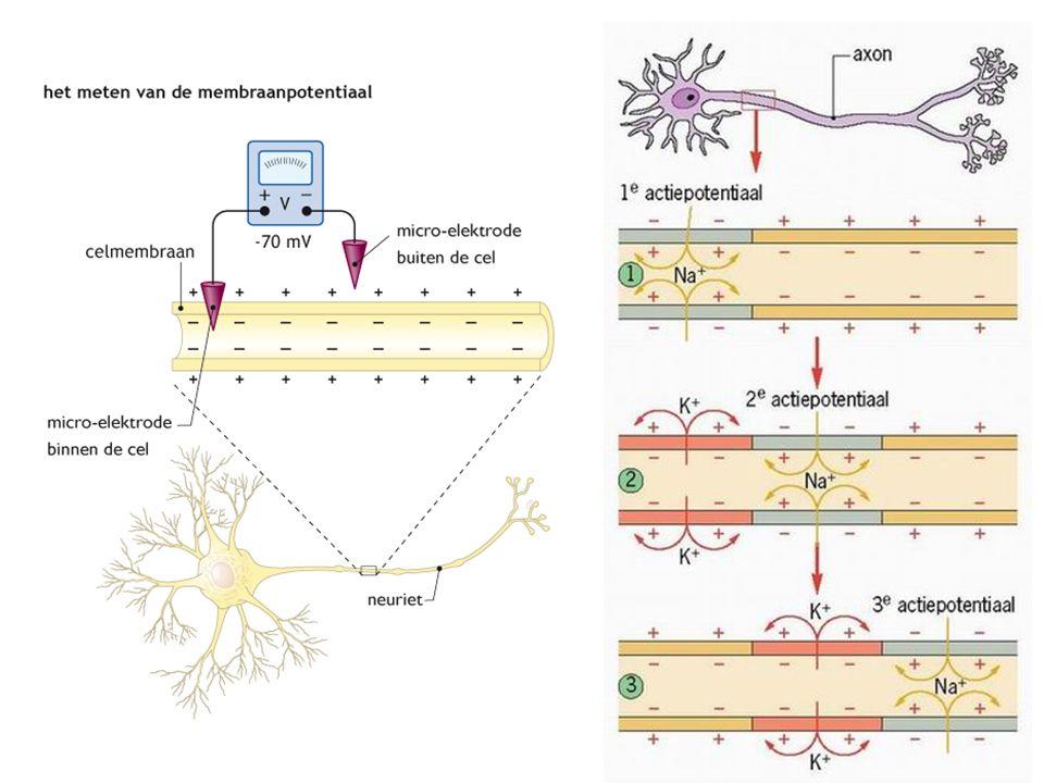 Zenuwcel in rust  - lading aan binnenkant celmembraan Actiefase  binnenkant krijgt gedurende korte tijd + lading Herstelfase  celmembraan kan gedurende korte tijd geen impulsen geleiden Door myelineschede  sprongsgewijze impulsgeleiding