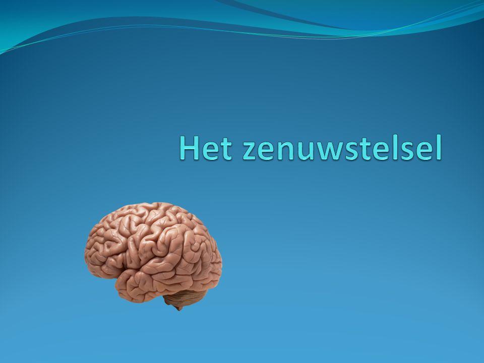 Het zenuwstelsel Functie Functie Soorten zenuwen Zenuwprikkels of zenuwimpulsen Indeling naar ligging of naar functie Het centrale zenuwstelsel Het perifere zenuwstelsel Het autonome zenuwstelsel 2Het spierstelsel