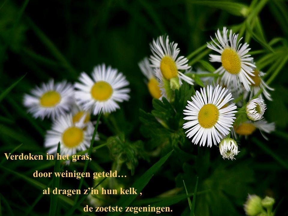 Ik voel mijn ziel verwant met kleine simpele dingen, die op ons wegen staan als bloemen van het veld…,