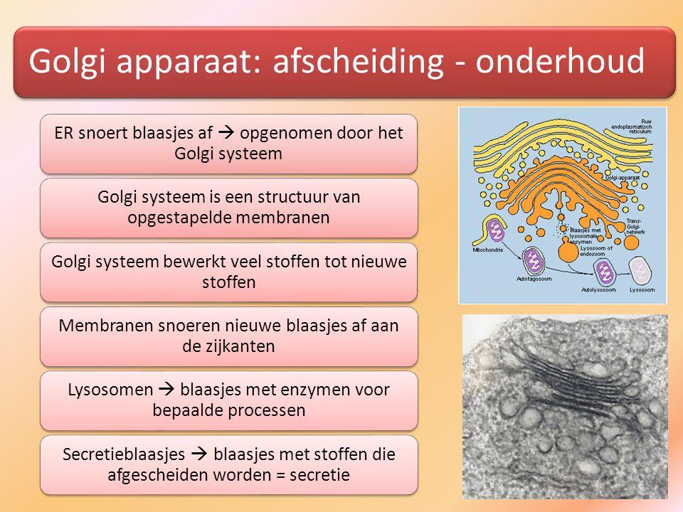 Golgi apparaat: afscheiding - onderhoud ER snoert blaasjes af  opgenomen door het Golgi systeem Golgi systeem is een structuur van opgestapelde membr