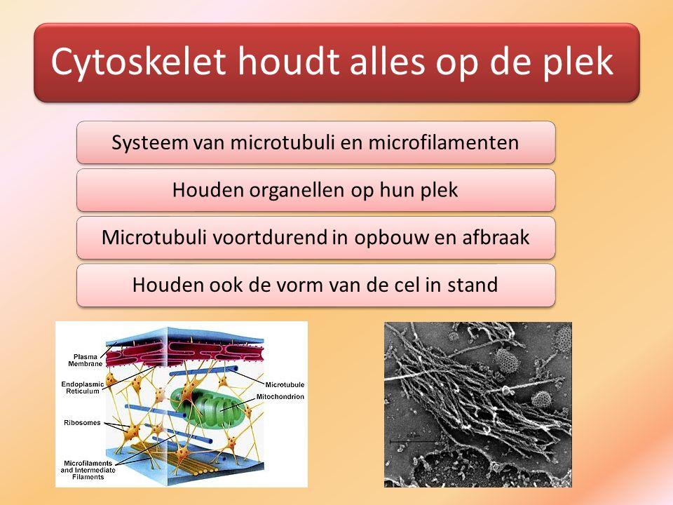 Cytoskelet houdt alles op de plek Systeem van microtubuli en microfilamentenHouden organellen op hun plekMicrotubuli voortdurend in opbouw en afbraakH