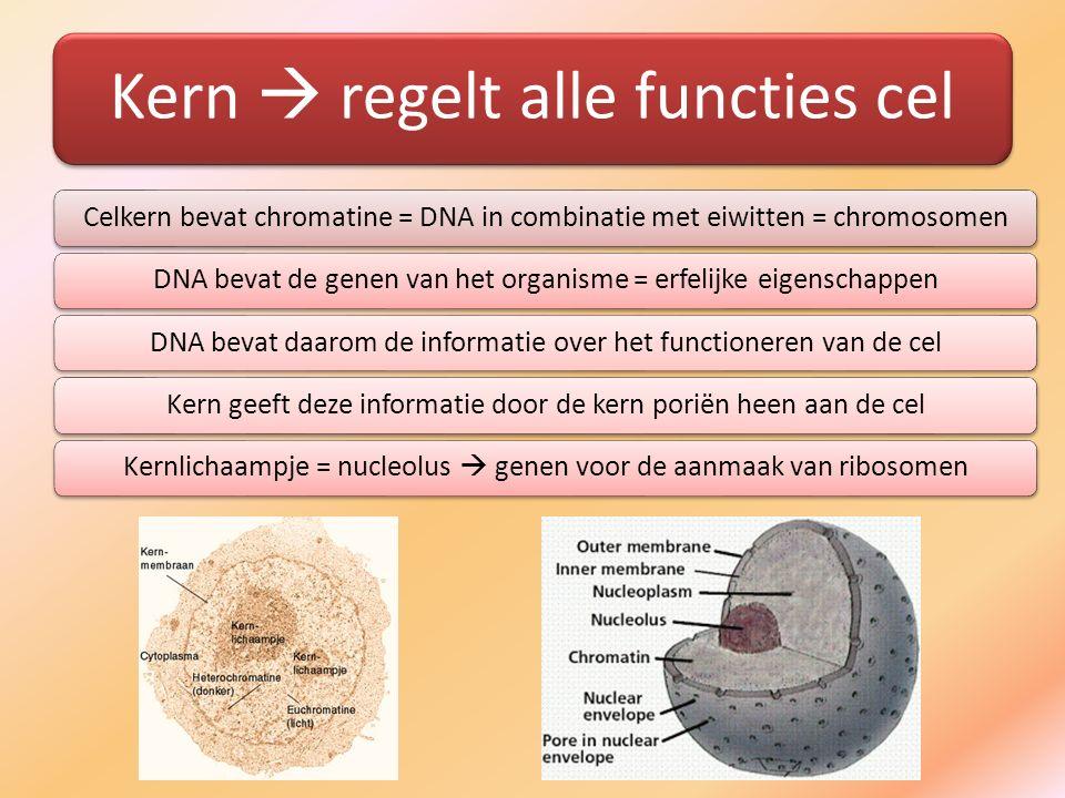 Kern  regelt alle functies cel Celkern bevat chromatine = DNA in combinatie met eiwitten = chromosomenDNA bevat de genen van het organisme = erfelijk
