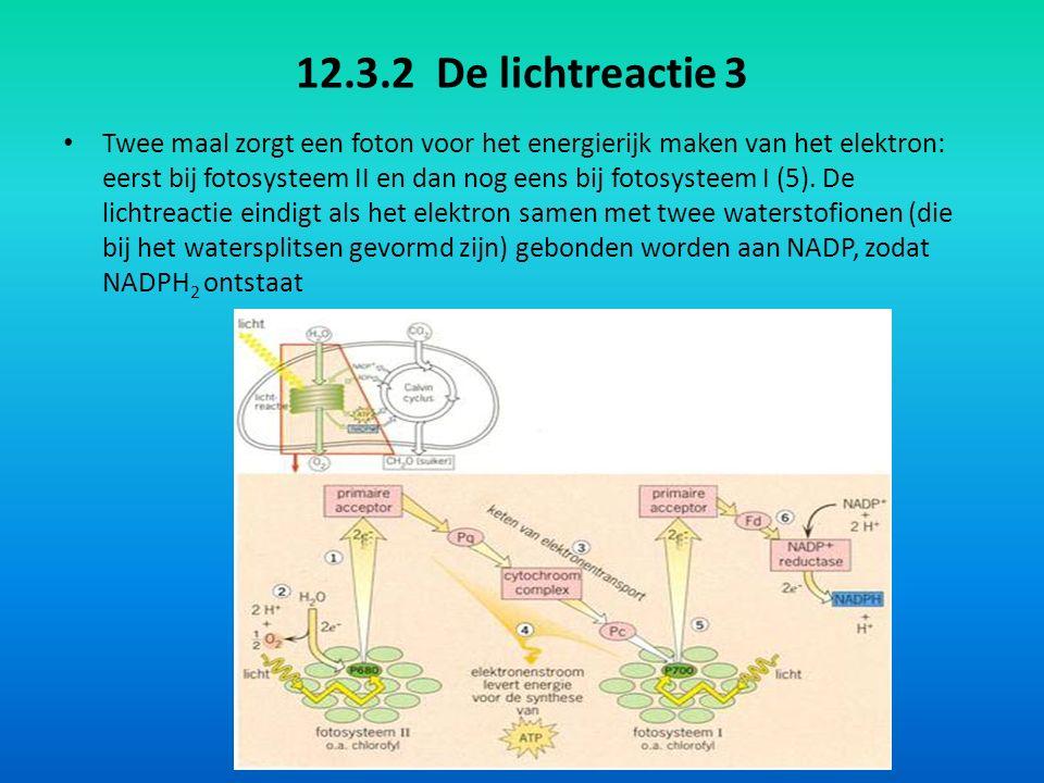 12.3.2 De lichtreactie 4 Hieronder staat een versimpelde weergave van de lichtreactie: Samenvattend: water wordt gesplitst in zuurstof en waterstof; waterstof uit water wordt gebonden aan NADP, zodat NADPH 2 ontstaat; lichtenergie wordt vastgelegd in ATP; de zuurstof die gevormd verlaat de bladgroenkorrel als zuurstofgas (O 2 ).