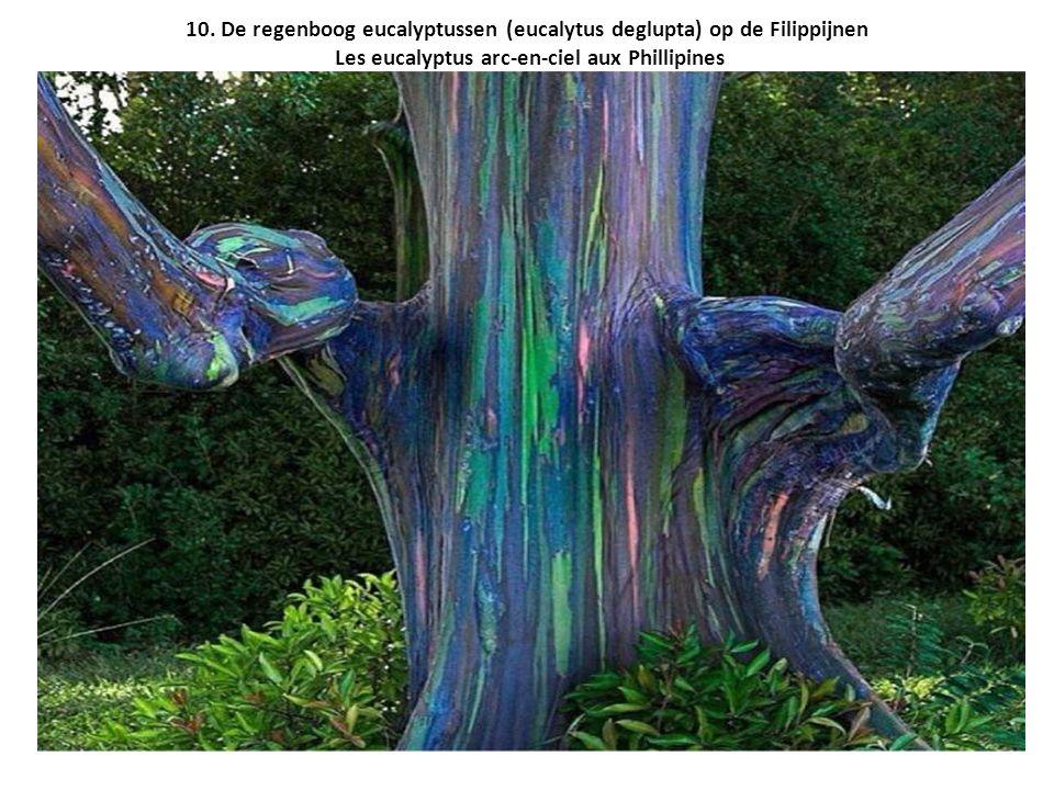 10. De regenboog eucalyptussen (eucalytus deglupta) op de Filippijnen Les eucalyptus arc-en-ciel aux Phillipines