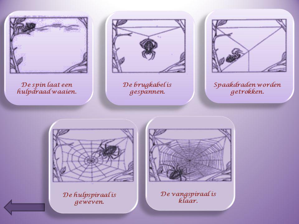 Op de volgende dia zie je hoe spinnen een web bouwen. Schrijf eronder wat het beestje doet.