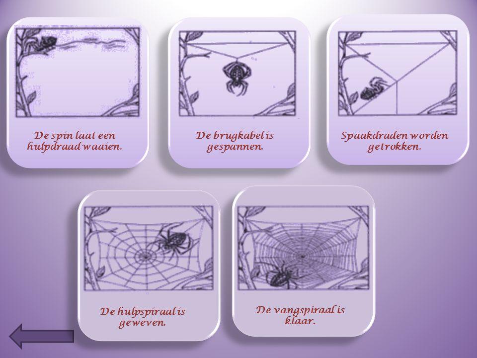 Spinnen zijn geen insecten, dat weet je best. Wat zijn de belangrijkste verschillen ? SPINNENINSECTEN  8 poten  6 poten  geen vleugels  meestal vl