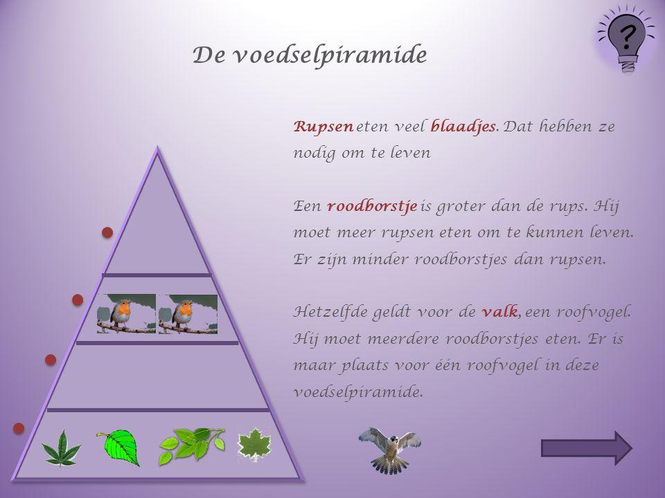 De voedselpiramide Rupsen eten veel blaadjes. Dat hebben ze nodig om te leven Een roodborstje is groter dan de rups. Hij moet meer rupsen eten om te k
