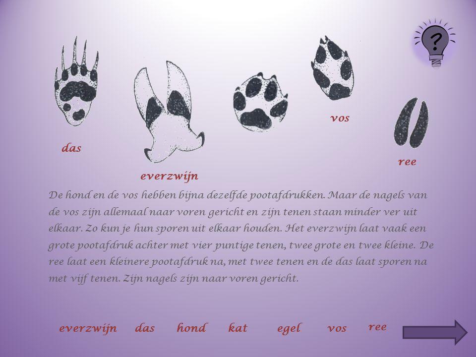 De hond en de vos hebben bijna dezelfde pootafdrukken. Maar de nagels van de vos zijn allemaal naar voren gericht en zijn tenen staan minder ver uit e