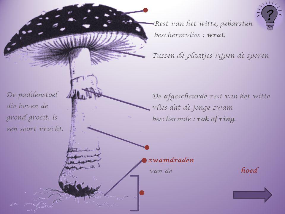De paddenstoel die boven de grond groeit, is een soort vrucht. Rest van het witte, gebarsten beschermvlies : wrat. Tussen de plaatjes rijpen de sporen