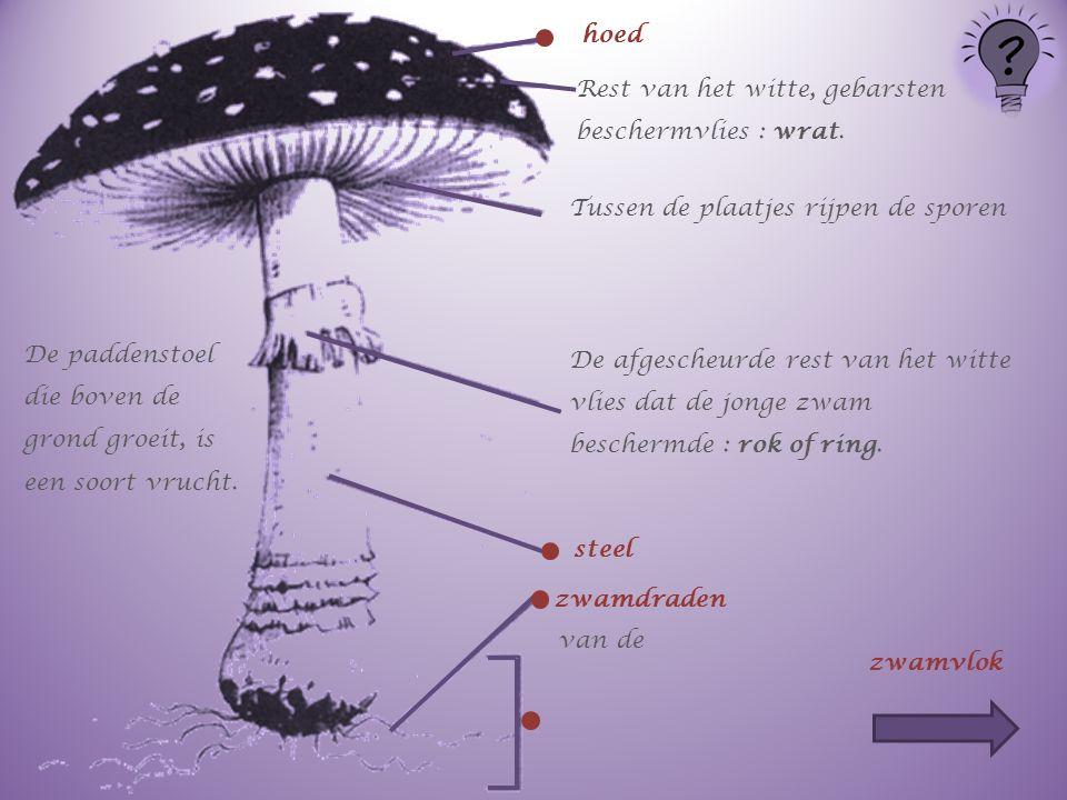 De paddenstoel die boven de grond groeit, is een soort vrucht. hoed Rest van het witte, gebarsten beschermvlies : wrat. Tussen de plaatjes rijpen de s