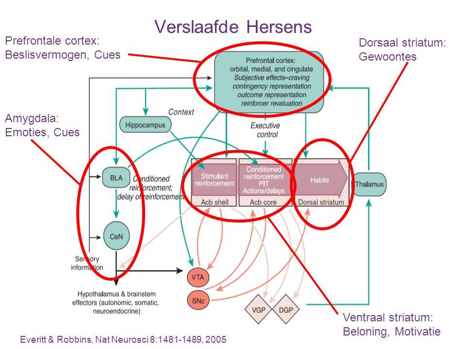 Verslaafde Hersens Everitt & Robbins, Nat Neurosci 8:1481-1489, 2005 Dorsaal striatum: Gewoontes Amygdala: Emoties, Cues Prefrontale cortex: Beslisver