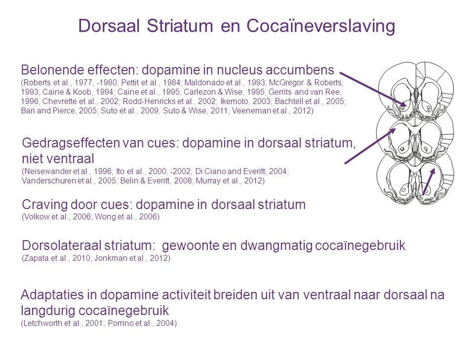 Dorsaal Striatum en Cocaïneverslaving Belonende effecten: dopamine in nucleus accumbens (Roberts et al., 1977, -1980; Pettit et al., 1984; Maldonado e