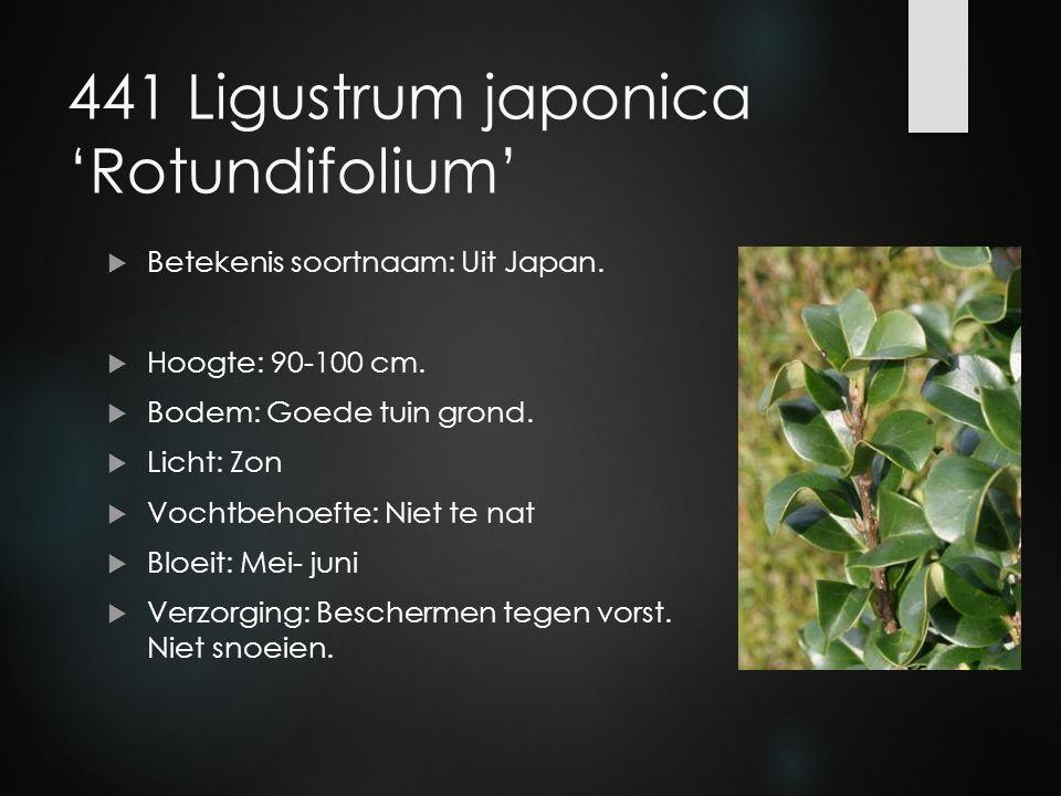 441 Ligustrum japonica 'Rotundifolium'  Betekenis soortnaam: Uit Japan.  Hoogte: 90-100 cm.  Bodem: Goede tuin grond.  Licht: Zon  Vochtbehoefte:
