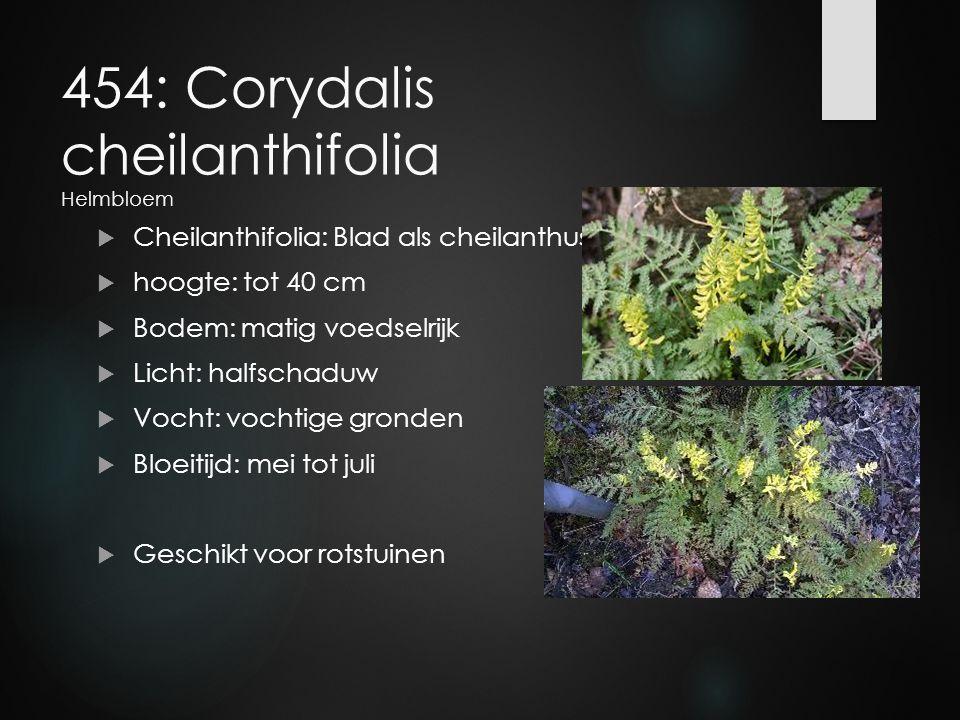 454: Corydalis cheilanthifolia Helmbloem  Cheilanthifolia: Blad als cheilanthus  hoogte: tot 40 cm  Bodem: matig voedselrijk  Licht: halfschaduw 