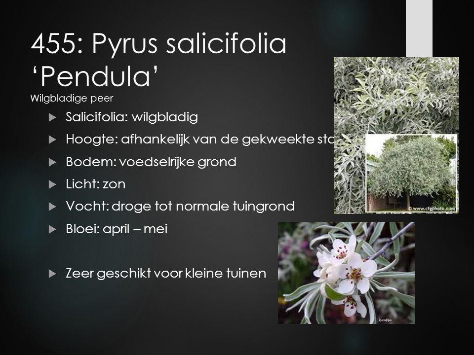 455: Pyrus salicifolia 'Pendula' Wilgbladige peer  Salicifolia: wilgbladig  Hoogte: afhankelijk van de gekweekte stam  Bodem: voedselrijke grond 