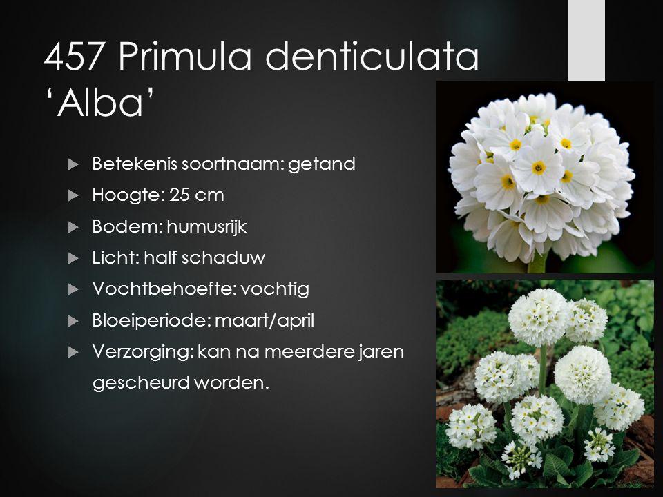 457 Primula denticulata 'Alba'  Betekenis soortnaam: getand  Hoogte: 25 cm  Bodem: humusrijk  Licht: half schaduw  Vochtbehoefte: vochtig  Bloei