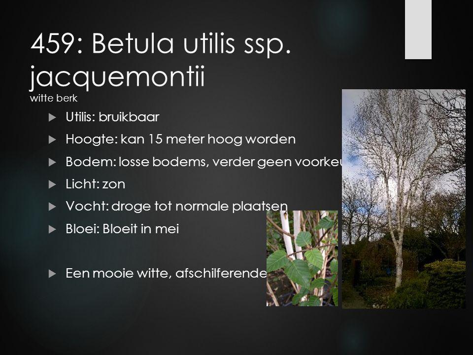 459: Betula utilis ssp. jacquemontii witte berk  Utilis: bruikbaar  Hoogte: kan 15 meter hoog worden  Bodem: losse bodems, verder geen voorkeur  L