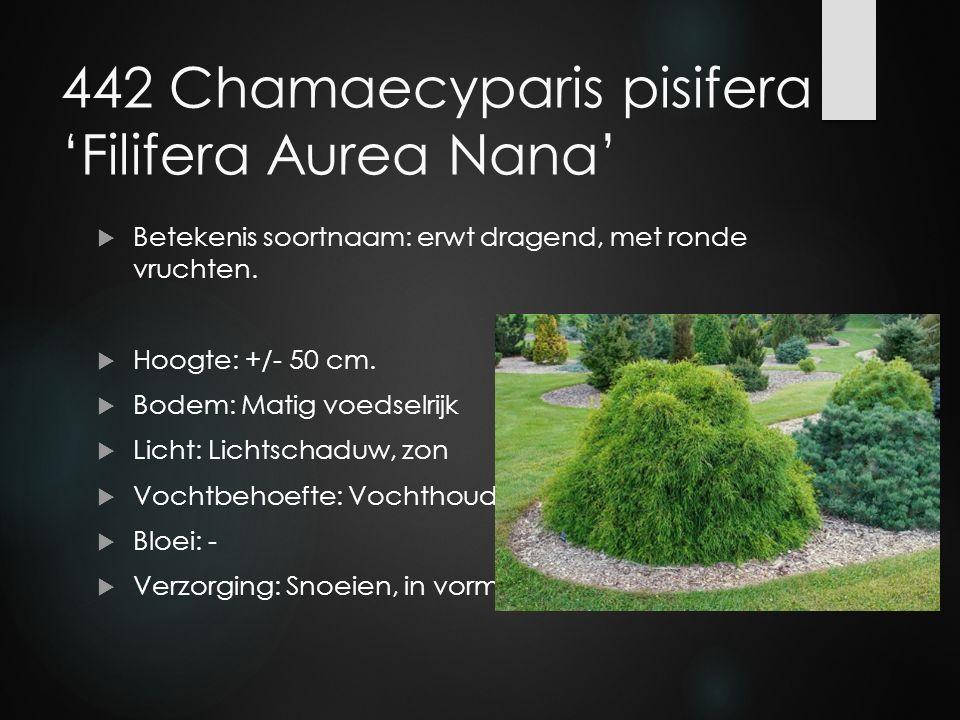 442 Chamaecyparis pisifera 'Filifera Aurea Nana'  Betekenis soortnaam: erwt dragend, met ronde vruchten.  Hoogte: +/- 50 cm.  Bodem: Matig voedselr