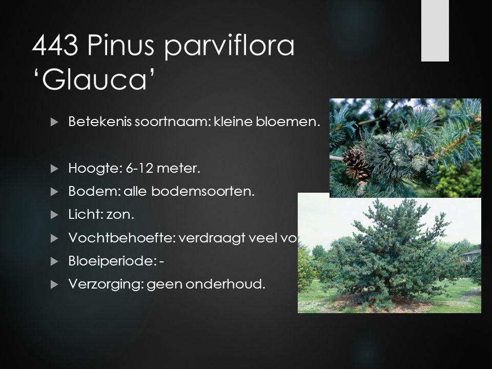 443 Pinus parviflora 'Glauca'  Betekenis soortnaam: kleine bloemen.  Hoogte: 6-12 meter.  Bodem: alle bodemsoorten.  Licht: zon.  Vochtbehoefte: