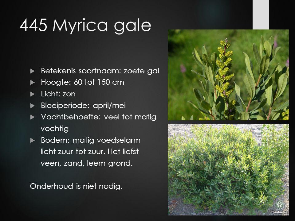 445 Myrica gale  Betekenis soortnaam: zoete gal  Hoogte: 60 tot 150 cm  Licht: zon  Bloeiperiode: april/mei  Vochtbehoefte: veel tot matig vochti