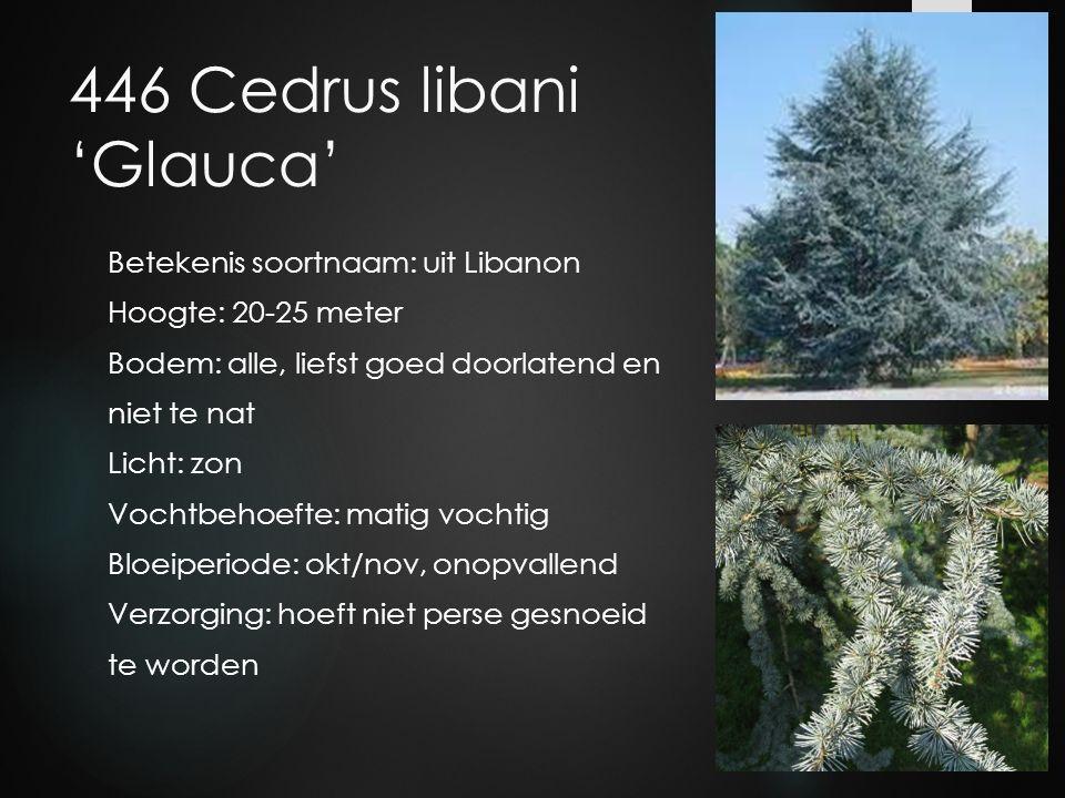 446 Cedrus libani 'Glauca' Betekenis soortnaam: uit Libanon Hoogte: 20-25 meter Bodem: alle, liefst goed doorlatend en niet te nat Licht: zon Vochtbeh