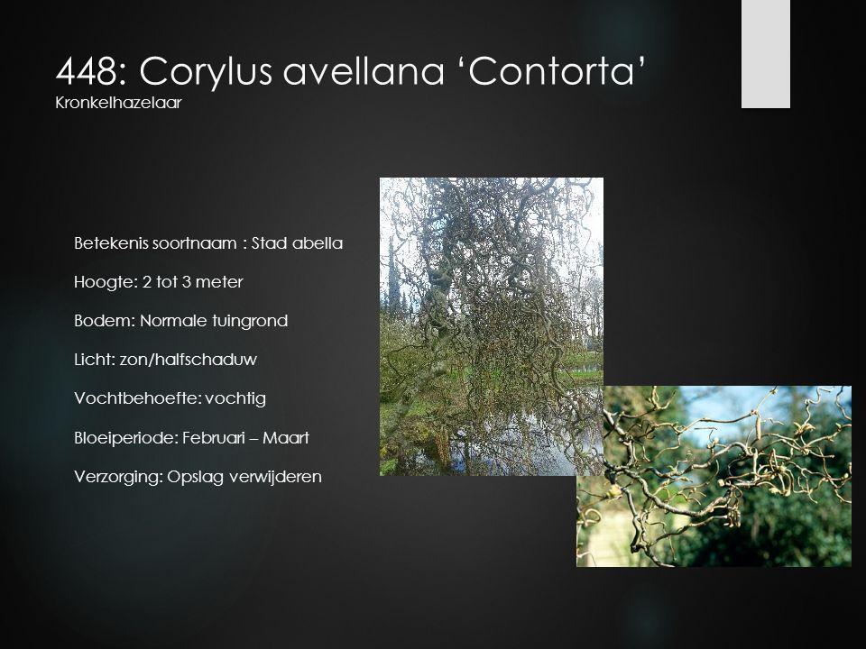 448: Corylus avellana 'Contorta' Kronkelhazelaar Betekenis soortnaam : Stad abella Hoogte: 2 tot 3 meter Bodem: Normale tuingrond Licht: zon/halfschad
