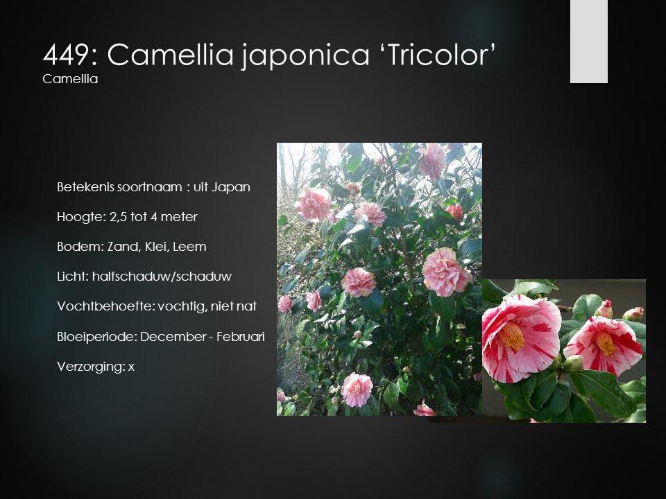 449: Camellia japonica 'Tricolor' Camellia Betekenis soortnaam : uit Japan Hoogte: 2,5 tot 4 meter Bodem: Zand, Klei, Leem Licht: halfschaduw/schaduw