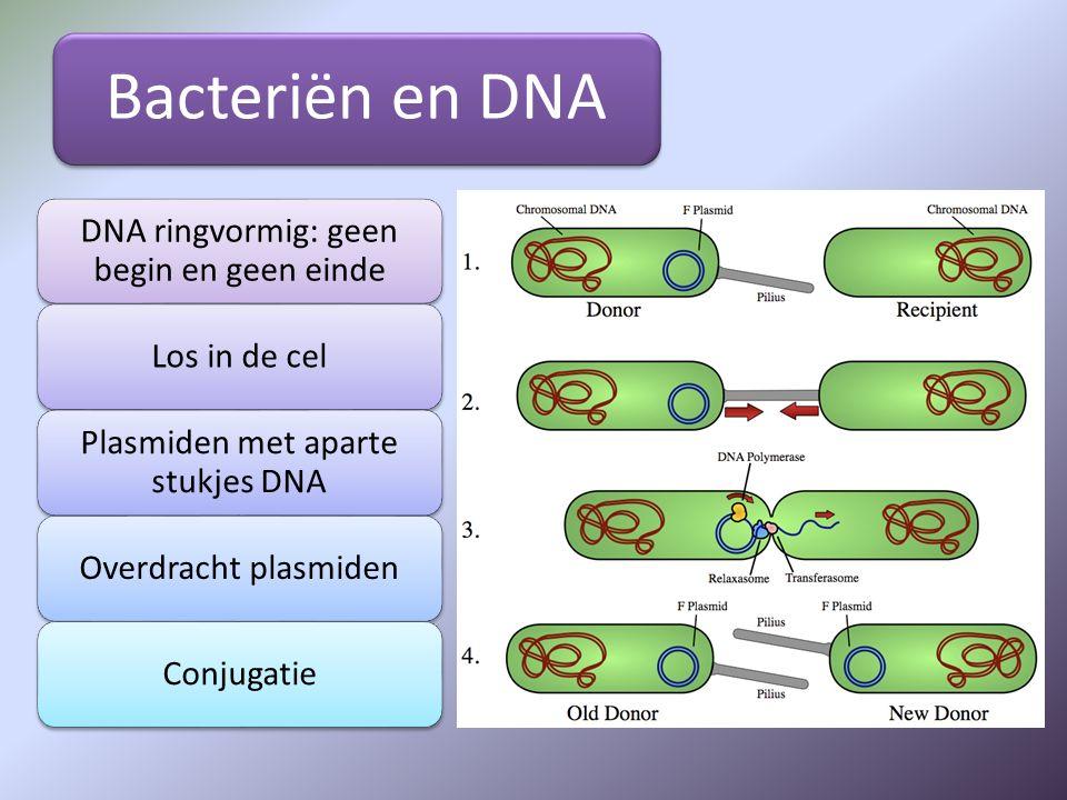Bacteriën en DNA DNA ringvormig: geen begin en geen einde Los in de cel Plasmiden met aparte stukjes DNA Overdracht plasmidenConjugatie