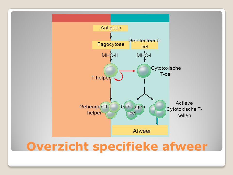 Overzicht specifieke afweer Antigeen Fagocytose MHC-II T-helper Geheugen T- helper Geïnfecteerde cel MHC-I Cytotoxische T-cel Geheugen cel Actieve Cyt