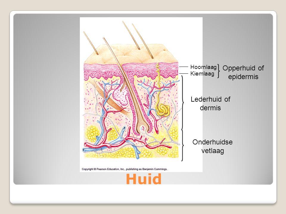 Huid Hoornlaag Kiemlaag Opperhuid of epidermis Lederhuid of dermis Onderhuidse vetlaag