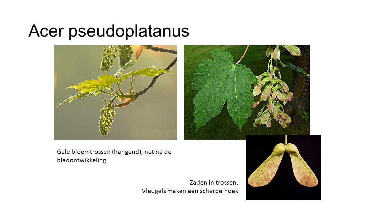 Acer pseudoplatanus Gele bloemtrossen (hangend), net na de bladontwikkeling Zaden in trossen. Vleugels maken een scherpe hoek