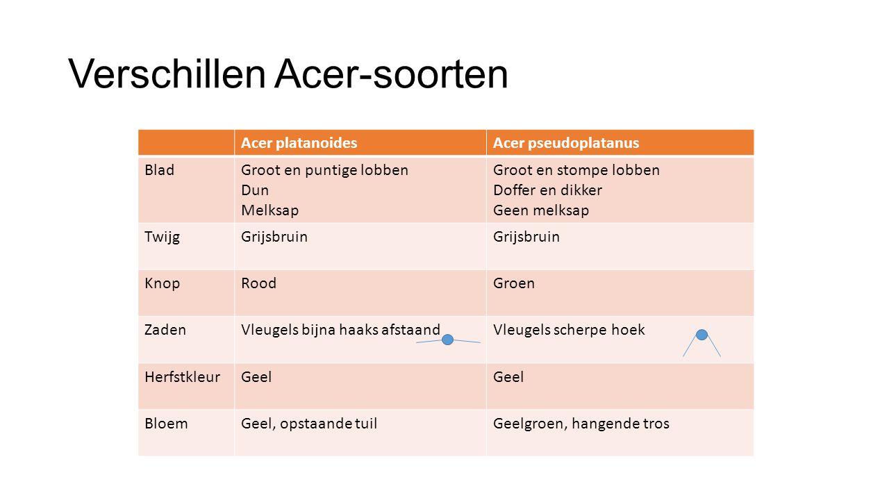 Verschillen Acer-soorten Acer platanoidesAcer pseudoplatanus BladGroot en puntige lobben Dun Melksap Groot en stompe lobben Doffer en dikker Geen melk