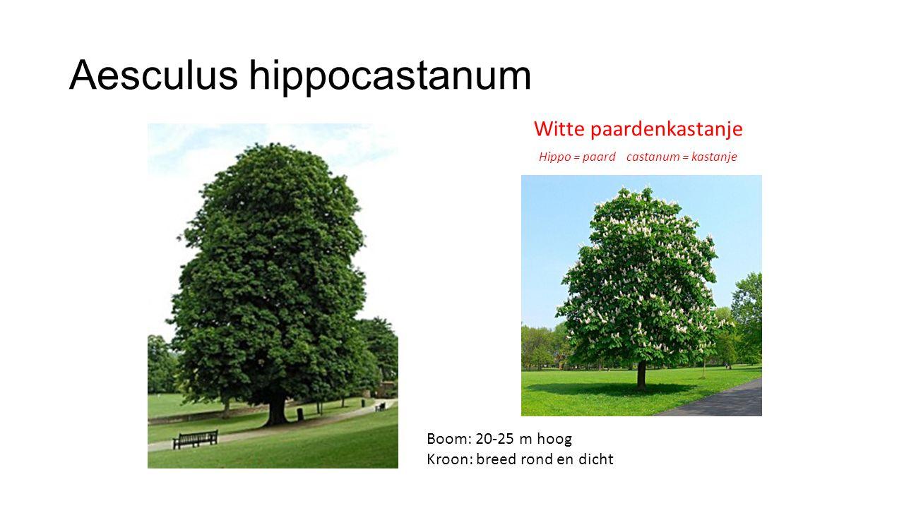 Aesculus hippocastanum Witte paardenkastanje Hippo = paard castanum = kastanje Boom: 20-25 m hoog Kroon: breed rond en dicht