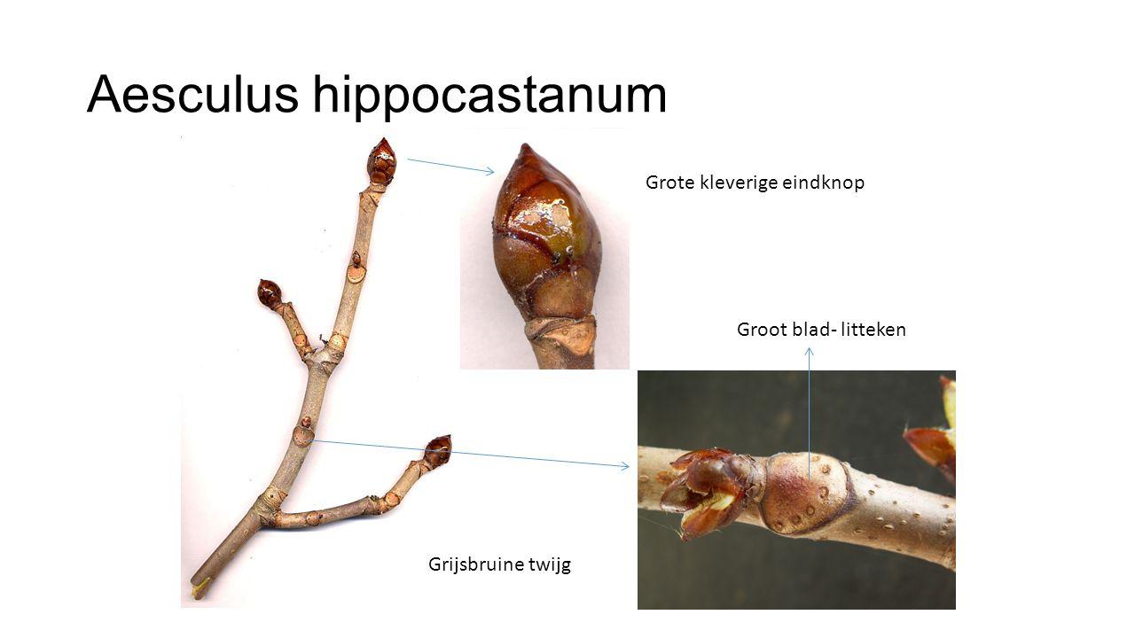 Aesculus hippocastanum Grote kleverige eindknop Groot blad- litteken Grijsbruine twijg