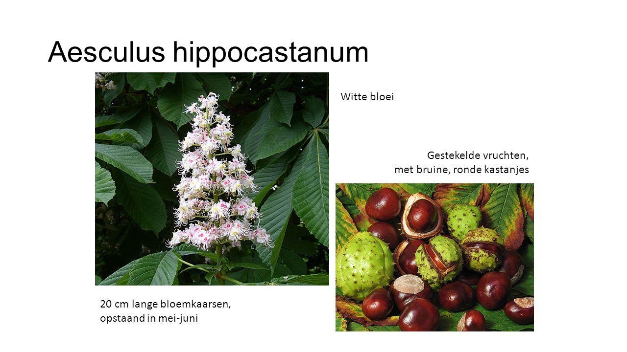 Aesculus hippocastanum 20 cm lange bloemkaarsen, opstaand in mei-juni Gestekelde vruchten, met bruine, ronde kastanjes Witte bloei
